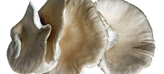 Funghi pleurotus ostreatus o sbrise