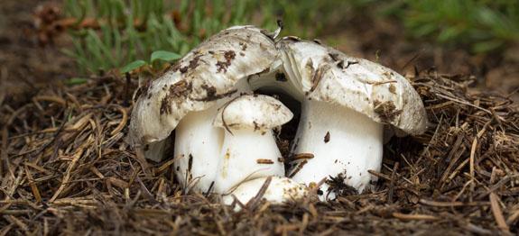 Funghi Marzuoli