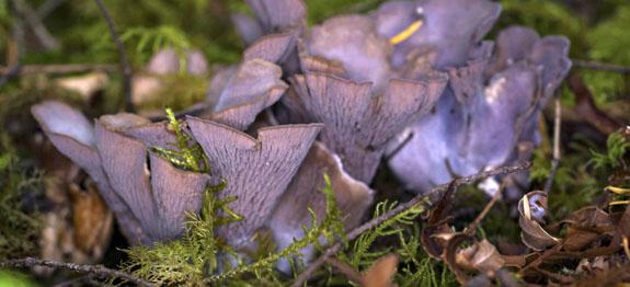 Gomphus clavatus - Fungo della carne